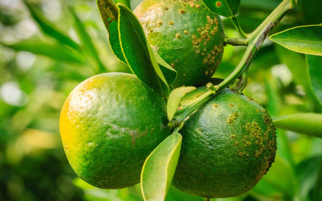Oxicloreto de cobre blinda pomar de citros – Editora Gazeta